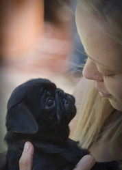 Affectionate Black pug Puppy For Adoption